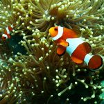 aquarium-aquatic-clown-fish